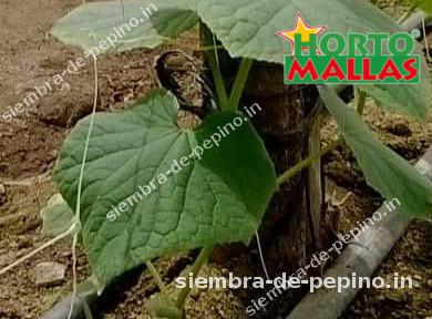 planta de pepino usando red de soporte
