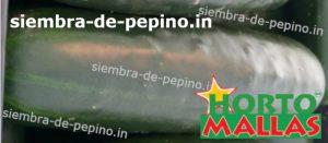 cosecha de pepino libre de patogenos
